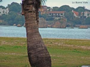 ccnut tree